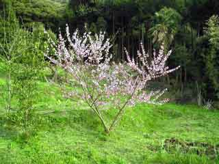 Peach Blossoms JPG