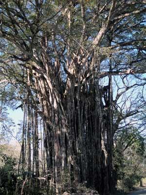 Tree JPG