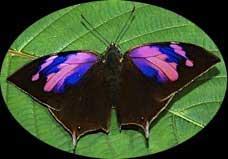 Vilacamba ButterflyのJPG